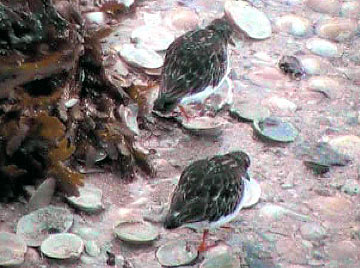 Turnstones video - Kyle of Lochalsh beside the Skye Bridge